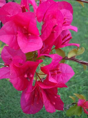 Bougainvillea Dream #2 Poster