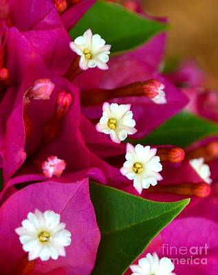 Poster featuring the photograph Bougainvillea- Fuschia by Darla Wood