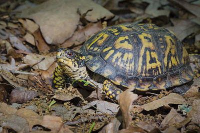 Poster featuring the photograph Box Turtle Sunning by Bradley Clay