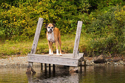 Boxer On Lake Dock Poster