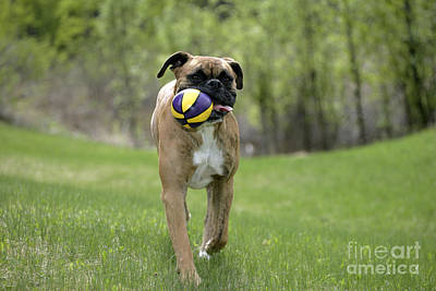 Boxer Playing With Ball Poster by Rolf Kopfle