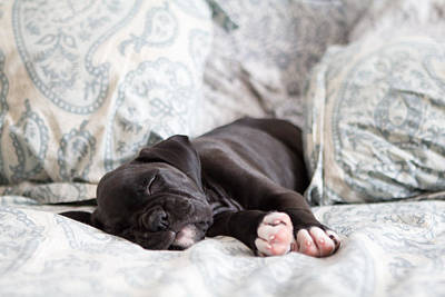 Boxer Puppy Sleeping Poster