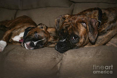 Boxers At Rest Poster by Suzi Nelson