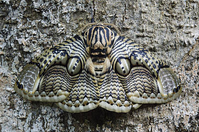 Brahmin Moth Camouflaged Philippines Poster by Ch'ien Lee