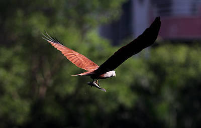 Brahminy Kite With Catch  Poster