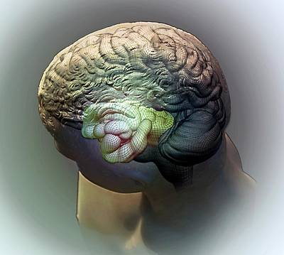 Brain And Hippocampus Poster by Zephyr