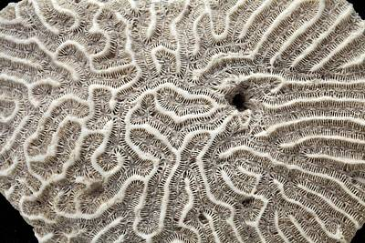 Brain Coral (mussidae) Poster by Dirk Wiersma