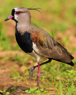 Brazil A Southern Lapwing (vanellus Poster