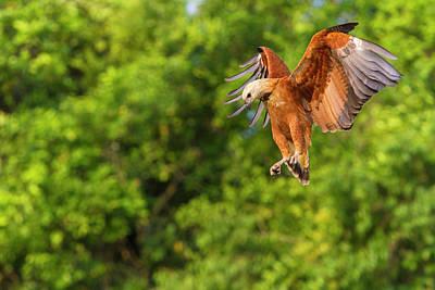 Brazil Black-collared Hawk (busarellis Poster