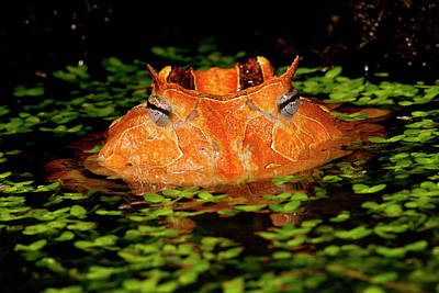 Brazilian Horn Frog, Ceratophrys Poster by David Northcott
