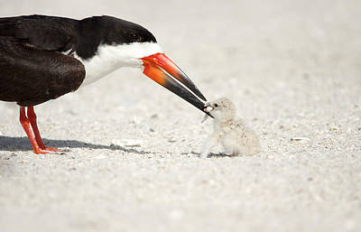 Black Skimmer And Chick. Poster