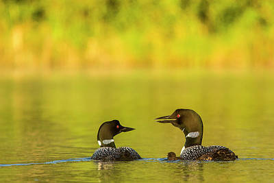 Breeding Pair Of Common Loons Poster
