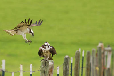 Breeding Pair Of Osprey Near Rollins Poster