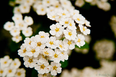 Poster featuring the photograph Bridal Veil Spirea by Brenda Jacobs