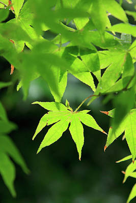 Bright Green Japanese Maple Trees Poster by Paul Dymond