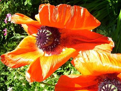 Bright Orange Poppy Poster