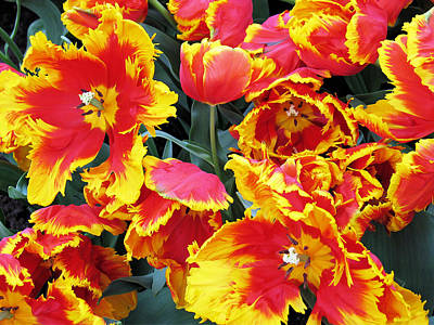 Poster featuring the photograph Bright Parrot Tulips by Gerry Bates