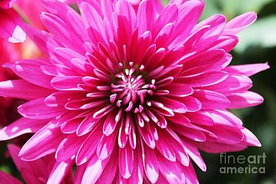 Poster featuring the photograph Bright Pink Mum by Judy Palkimas