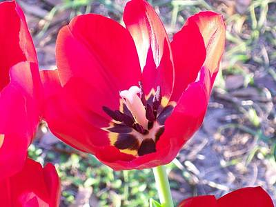 Poster featuring the photograph Bright Red Tulip by Belinda Lee