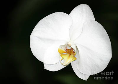 Bright White Orchid Poster