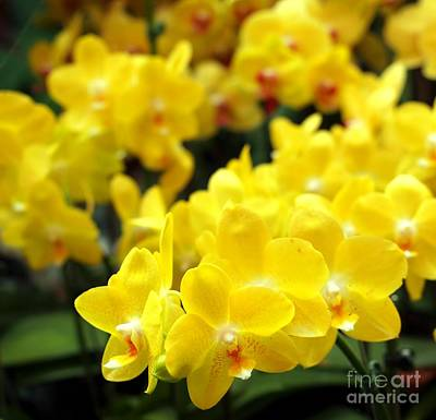 Bright Yellow Tropical Butterfly Orchids Poster by Yali Shi