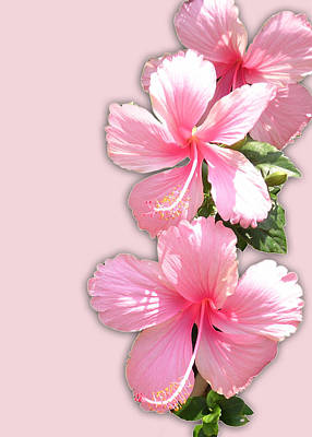 Brilliant Pink Hibiscuses Poster
