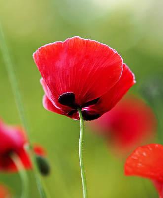 Brilliant Red Poppy Flower Poster