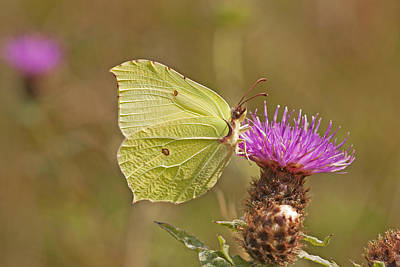 Brimstone On Creeping Thistle Poster