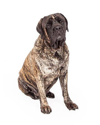Brindle English Mastiff Dog Sitting Poster by Susan Schmitz