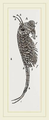 Brine Shrimp Or Brine Worm. Artemia Is A Genus Of Aquatic Poster
