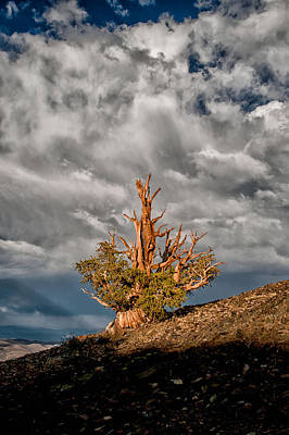 Bristlecone And Clouds Poster