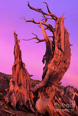Poster featuring the photograph Bristlecone Pine At Sunset White Mountains Californa by Dave Welling