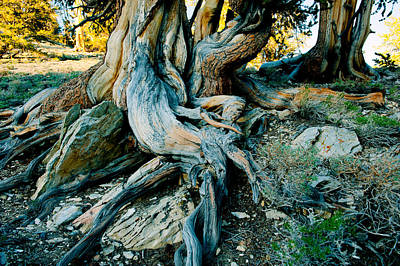 Bristlecone Pine Grove At Ancient Poster
