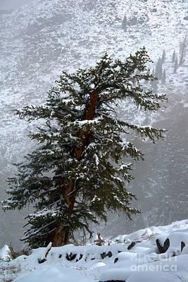 Bristlecone Pine In Snow Poster