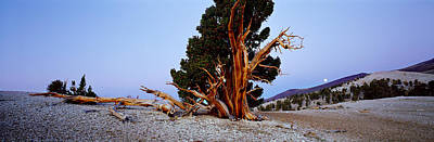 Bristlecone Pine Tree In Ancient Poster by Panoramic Images