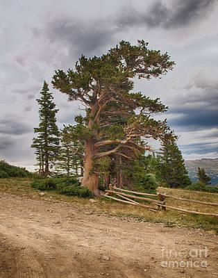 Bristlecone Pines Poster