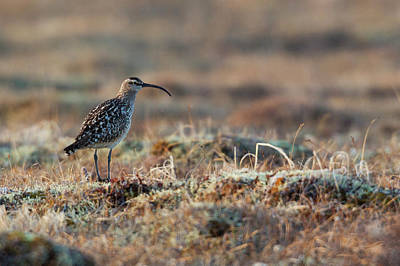 Bristled-thighed Curlew Poster by Ken Archer