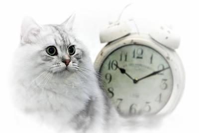 British Longhair Cat Time Goes By II Poster by Melanie Viola