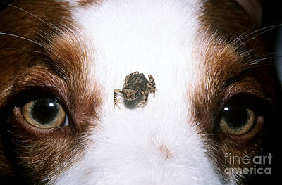 Brittany Spaniel And Toad Poster