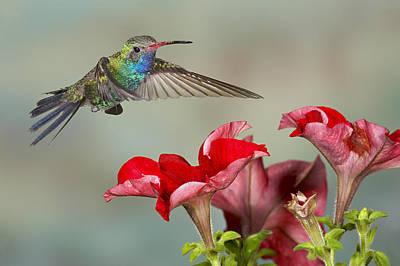 Broad Billed Hummingbird 4 Poster