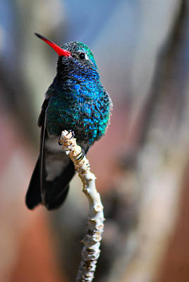 Broad-billed Hummingbird Poster by Barbara Manis