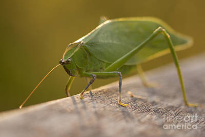 Broad-winged Katydid Poster by Meg Rousher