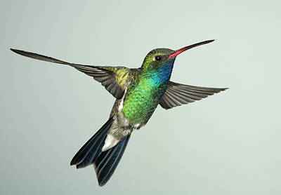 Broadbill Hummingbird Alternate Wing Pose Poster
