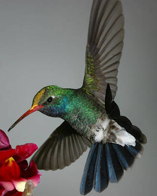 Poster featuring the photograph Broadbill Hummingbird With Pollen Cap by Gregory Scott