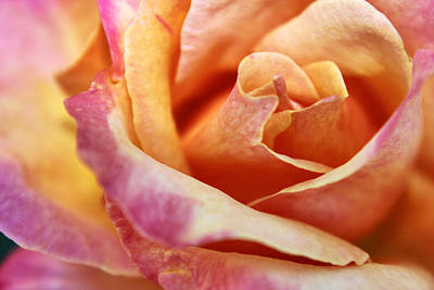 Poster featuring the photograph Broadway Hybrid Tea Rose by Jason Politte