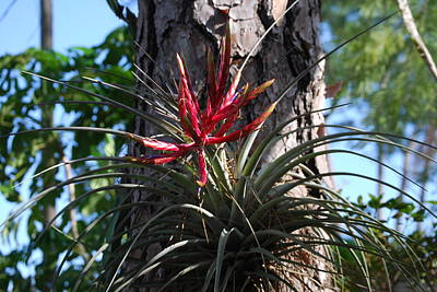 Bromeliaceous Poster