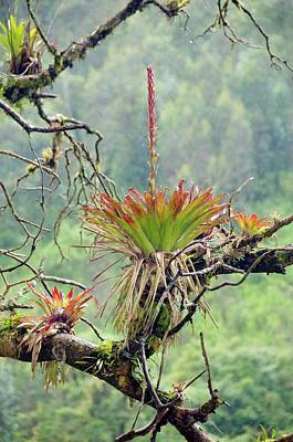 Bromeliad In Flower Growing On A Tree Poster