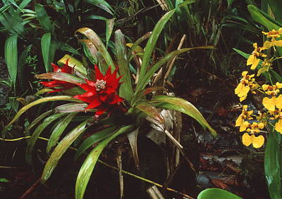 Bromeliad Plant With Orchid Poster