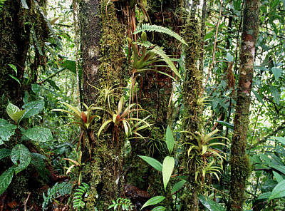 Bromeliads Growing On Trees In Rainforest Poster
