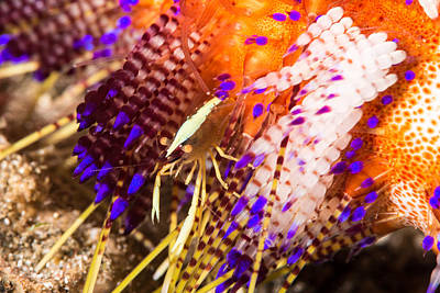 Brooks Urchin Shrimp Poster by Andrew J. Martinez